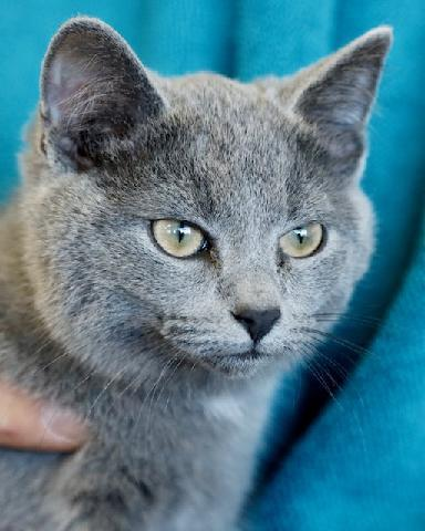 Bluebell, an adoptable Domestic Short Hair in Louisville, KY