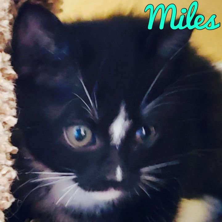 Miles, an adoptable Domestic Short Hair Mix in PORTLAND, OR
