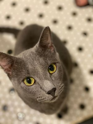 Gray Russian Blue Cat