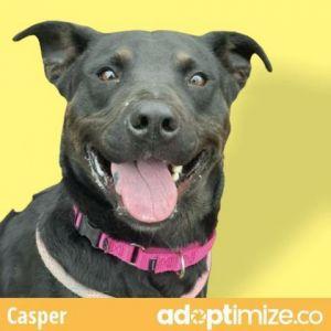 Casper Labrador Retriever Dog