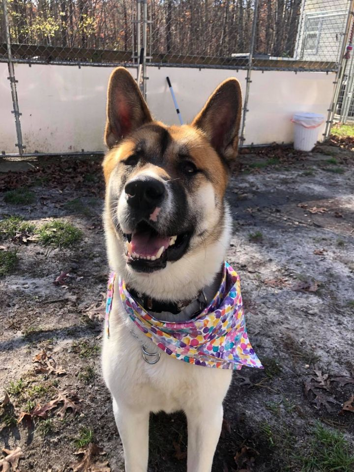 Max, an adoptable Akita in Toms River, NJ