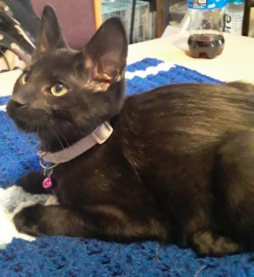Brady, an adoptable Domestic Short Hair Mix in Waseca, MN