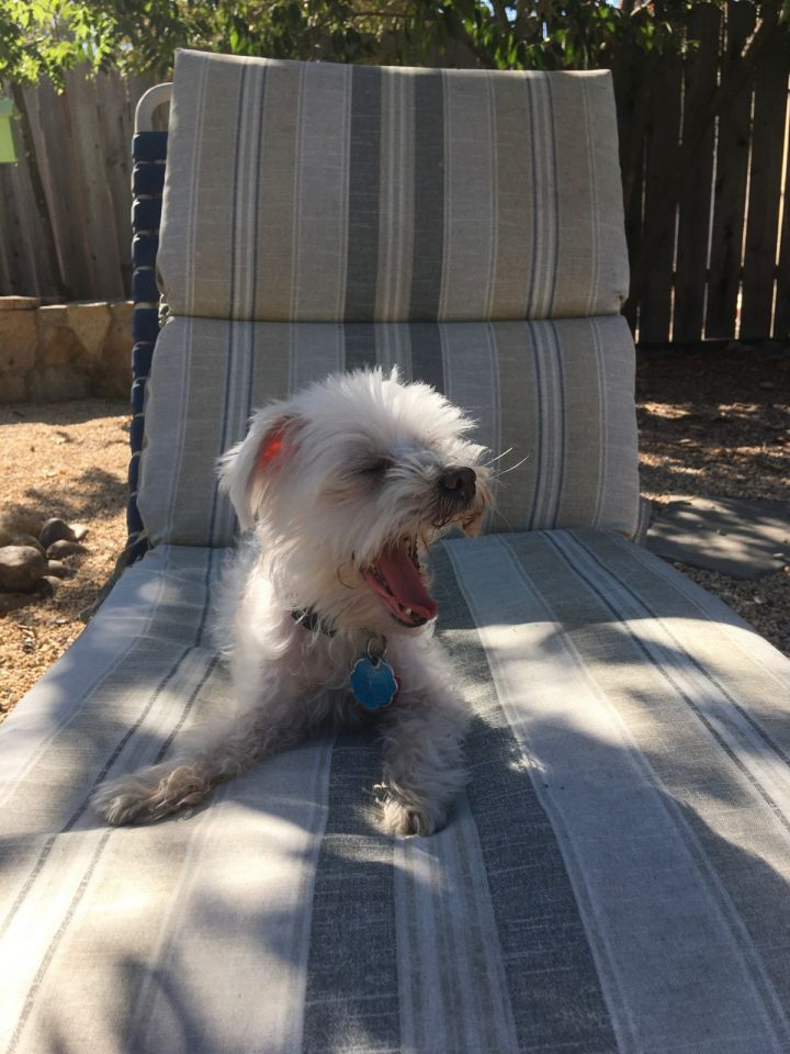 Petra, an adopted Maltese in Vallejo, CA