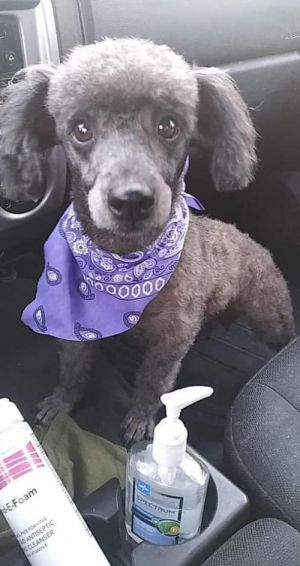 Flora (TX) Poodle Dog