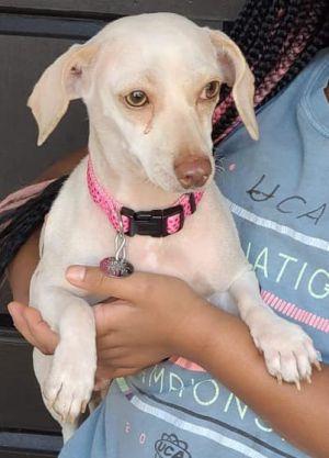 Nila (TX) Chihuahua Dog