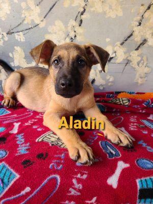 Aladin Shepherd Dog