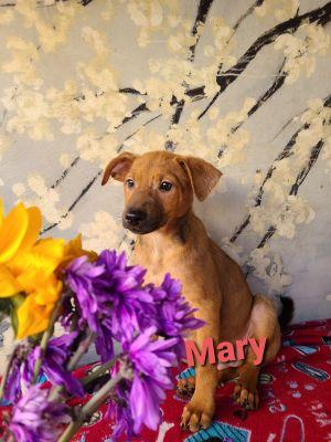 Mary German Shepherd Dog Dog