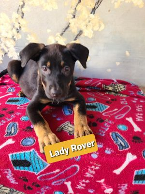 Lady Rover German Shepherd Dog Dog