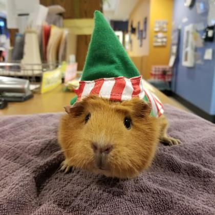 Calvin & Pumpkin, an adoptable Guinea Pig Mix in Bellingham, WA