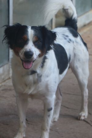This sweet boy is approx 3 yrs and 33lbs he looks like a shetland sheepdogbrittany spaniel mix he