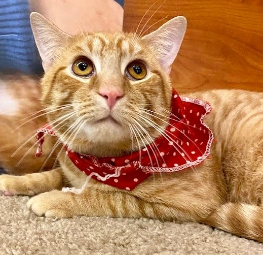 Milo, an adoptable Domestic Short Hair in Greenburgh, NY