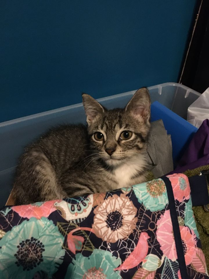 Clover, an adopted Domestic Short Hair in Highland, IN