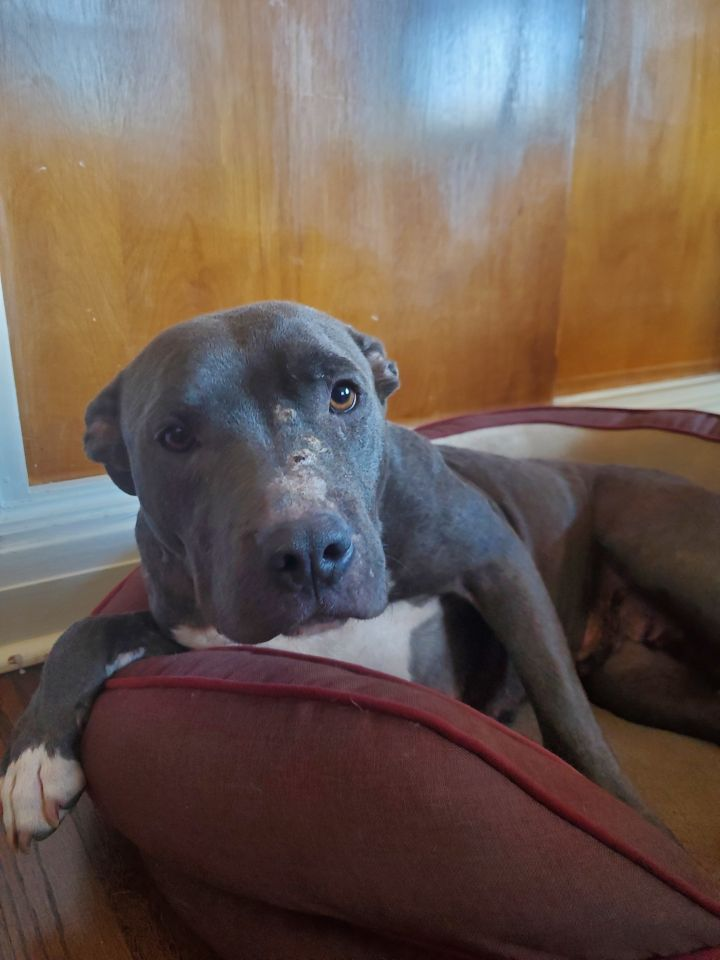 Brooke, an adoptable Pit Bull Terrier Mix in Hainesville, IL