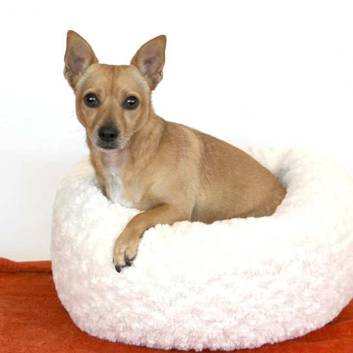 Roland, an adopted Chihuahua Mix in Clovis, CA