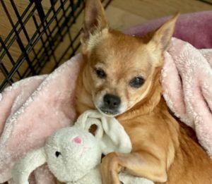 Sprite Chihuahua Dog