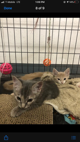 Carver & Chloe, an adoptable Tabby Mix in Mission Viejo, CA