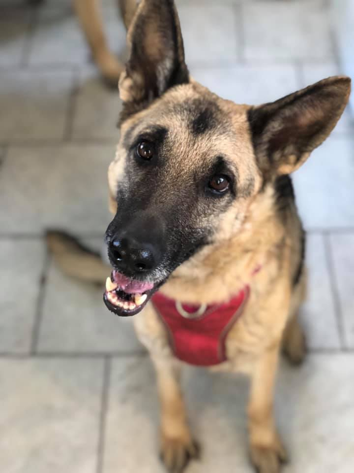 Lil' Ena, an adopted German Shepherd Dog in Chesterfield, MO
