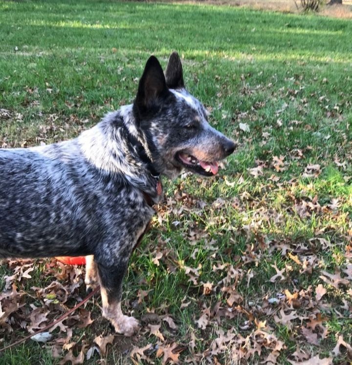 Royce, an adopted Australian Cattle Dog / Blue Heeler in Malvern, PA_image-2