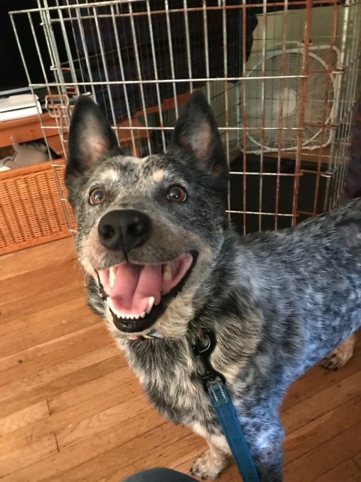 Royce, an adopted Australian Cattle Dog / Blue Heeler in Malvern, PA_image-3