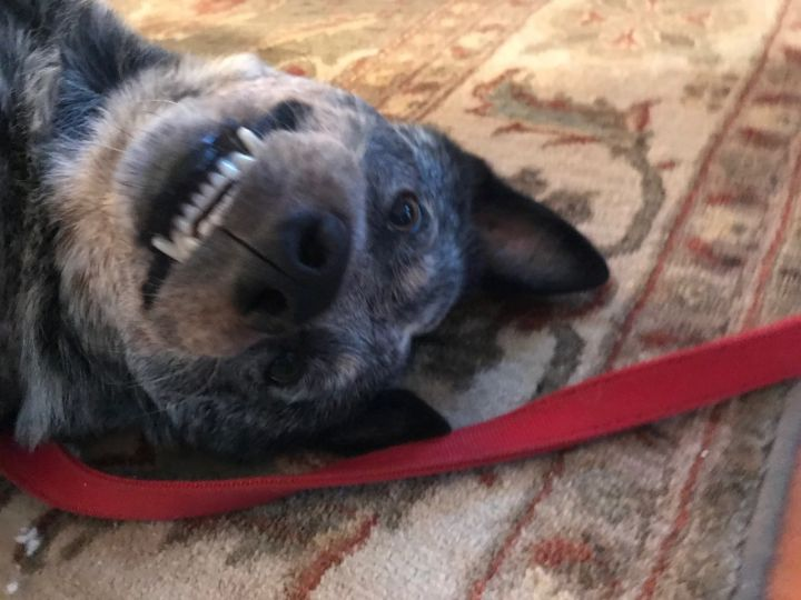 Royce, an adopted Australian Cattle Dog / Blue Heeler in Malvern, PA_image-4