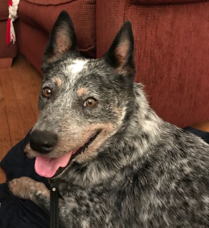 Royce, an adopted Australian Cattle Dog / Blue Heeler in Malvern, PA_image-6