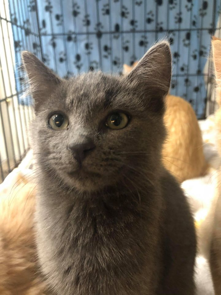 Jack, an adoptable Domestic Short Hair Mix in Springfield, MO