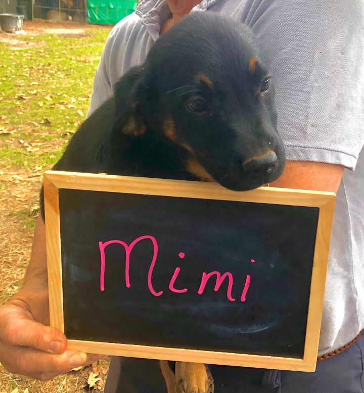 Dog For Adoption Mimi Apps Closed Approved Adopter Already Contacted A Labrador Retriever Mix In Cranston Ri Petfinder