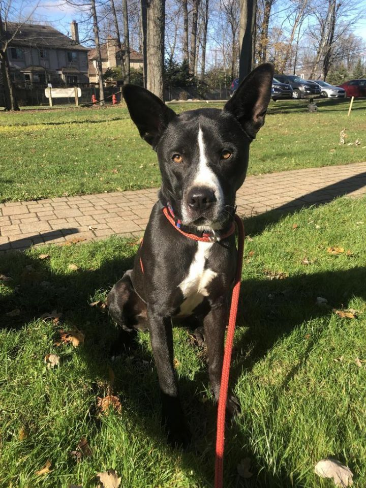 Tank, an adoptable Labrador Retriever Mix in Utica, MI