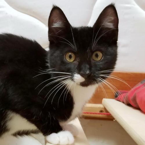 Sierra, an adoptable Tuxedo & Domestic Short Hair Mix in Springfield, OR