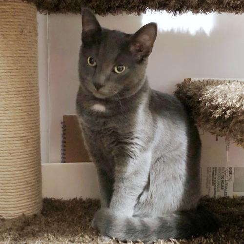 Nikolai, an adoptable Domestic Short Hair Mix in Springfield, OR