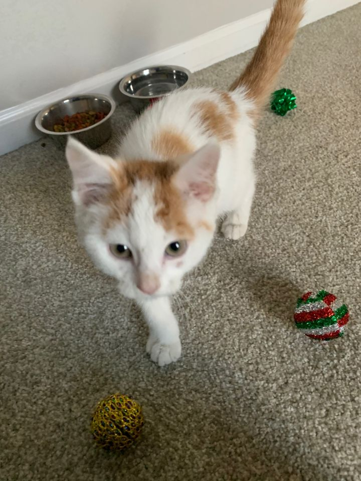 Onion, an adoptable Domestic Short Hair Mix in Hainesville, IL