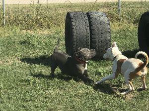 Katy American Staffordshire Terrier Dog