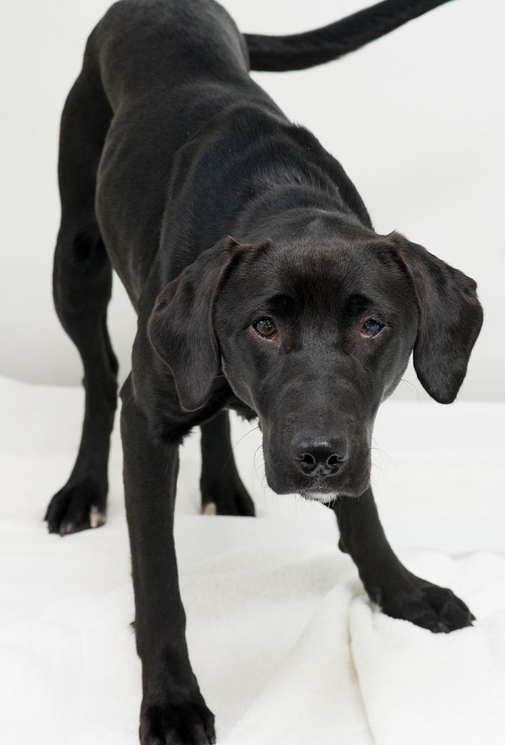 Luna, an adopted Labrador Retriever Mix in Westfield, NY