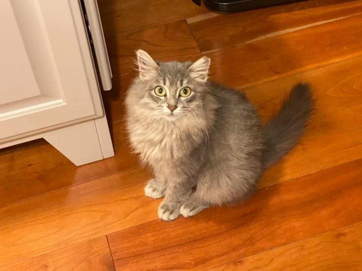 Delaney - Adoption Pending!, an adopted Domestic Long Hair & Tabby Mix in Kentwood, MI
