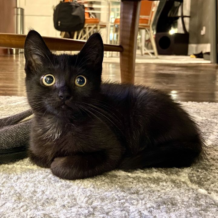 Sprite, an adopted Domestic Short Hair in Jersey City, NJ