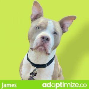 James Pit Bull Terrier Dog