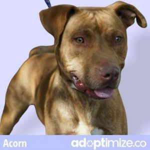 Acorn Pit Bull Terrier Dog