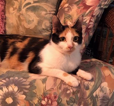 Callie, an adoptable Calico in Kentwood, MI
