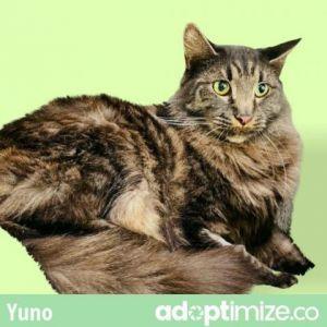 Yuno Domestic Long Hair Cat