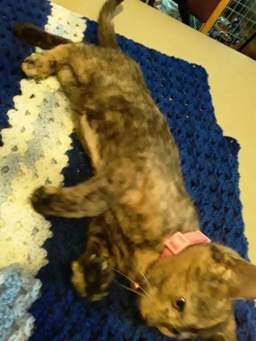 Lila, an adoptable Domestic Short Hair Mix in Waseca, MN
