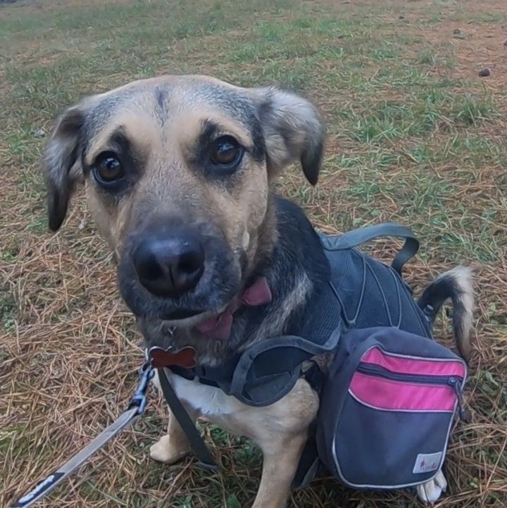 Jenny, an adopted Shepherd Mix in Clayton, NC