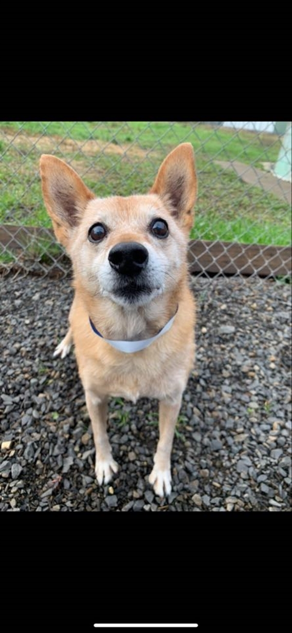 Rupert, an adoptable Terrier Mix in McMinnville, OR