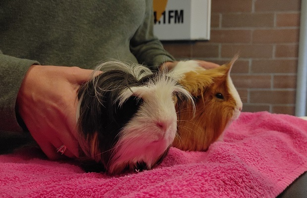 Wilbur & Oscar, an adopted Guinea Pig Mix in Bellingham, WA