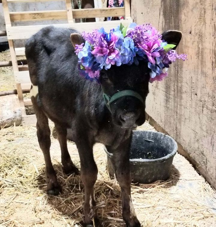 Cows, an adoptable Cow in Bellingham, WA
