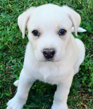 Finn Labrador Retriever Dog