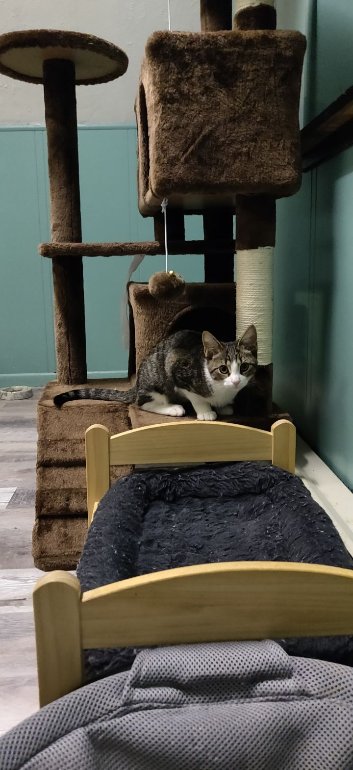 Chloe, an adopted Domestic Short Hair in Warminster, PA