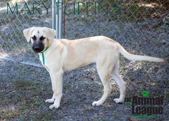 Mary Puppins, an adopted Anatolian Shepherd Mix in Clermont, FL