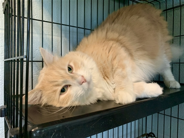 Gabe, an adoptable Domestic Long Hair Mix in Louisville, KY