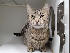 Primary Color Gray Tabby Weight 92lbs Age 5yrs 0mths 3wks