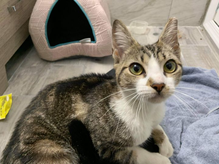 Trouble, an adoptable Domestic Short Hair in Warminster, PA